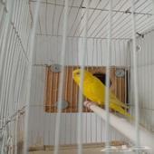 عصافير بادجي منتج ألبينو ولاتينو