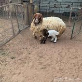 نعجه نعيم ولد معه خروف