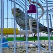 طيور الحب البادجي زوج وبصحه ممتازه الموقع محايل عسير