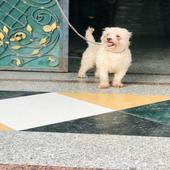 كلب مالتيز للبيع.