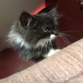 قطه شيرازي تركي للبيع