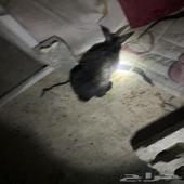 البيع جوز ارنب العمر 6شهور الارنب اتوقع حامل حي الموسى
