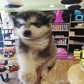 كلب جرو الاسكا بيور للبيع في جدة