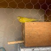 جوز بادجي ( طيور حب )