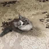 قطه هملايا للبيع.