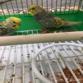 طيور الحب للبيع