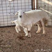رخل صنف معها خروف