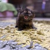قطط - العمر شهرين الفصيلة
