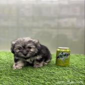 كلب شيتزو ميني