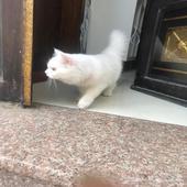 قطوه انثى