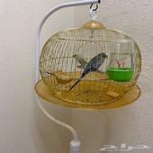 عصافير الحب مع قفص