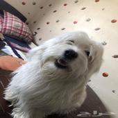 كلبة مالتييز للتزاوج الي عندة كلب ذكر نضيف يكلمني