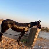 حصان انجليزي شيخ