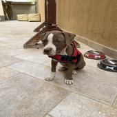 كلبة بتبول انثى بيور عمرها 45 يوم