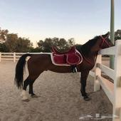 حصان فحل