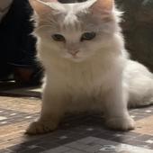 قطة هجين