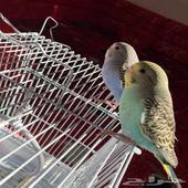 طيور الباجي