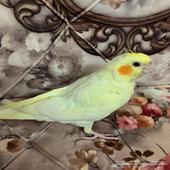 طير كروان للبيع