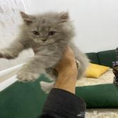 قطة - قط ذكر هملايا