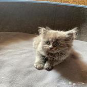 قطط شيرازي وبيكي فيس صغيرة العمر شهرين الا اسبوع