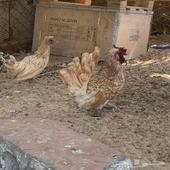 دجاجا حباحب
