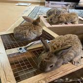 ارنب هولندي
