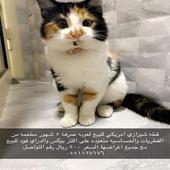 قطه شيرازي امريكي للبيع