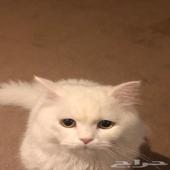 قط طالب تزاوج