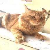 قط شيرازي للتبني برسوم رمزية