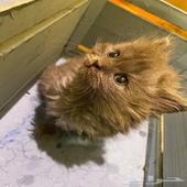قط صغير رمادي للبيع