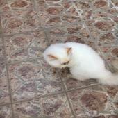 قطة هاف. بكي.
