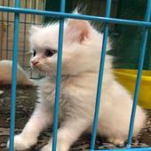 3 قطط شيرازي هملايا للبيع