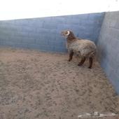 خروف جذع العمر حدود 9 اشهر فل شحم