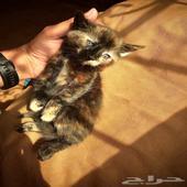 3 قطط صغار للتبني باقل سعر