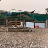 وز عراقي للبيع