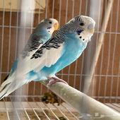 طيور حب او بادجي