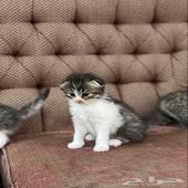 للبيع قطط شيرازي مكس سكوتش