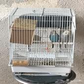 بادجي زوج طيور للبيع