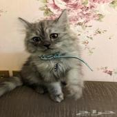 قطط شيرازيه عمرها 3اشهر تقريبا