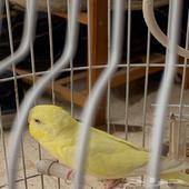طيور الحب مات خويه باقي هو صحته ممتازه بس مو اليف