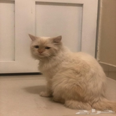 للبيع صديقي اعطاني هذي القطه ولا اعلم عنها شيء (الرياض)