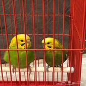 بيع عصافير الكناري ( طيور الحب ) عصافير للبيع