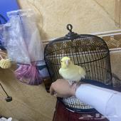 طير كروان اليف