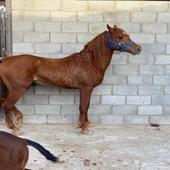 حصان شعبي شييخ