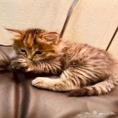 قطتين شيرازي العمر 40 يوم