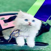 قطط شيرازي هاف بيك للبيع