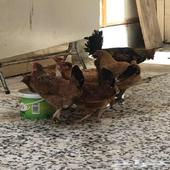 يوجد لذي دجاج بلدي للبيع واحد ديك وثمان دجاجات