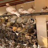 حمام زاجل كريمي