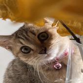 قطط صغيره للبيع سكوتش شيرازي