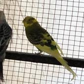 طيور استرالية